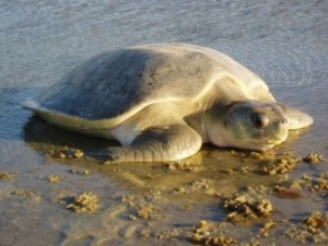 Adult flatback turtle. Image courtesy of Jarrad Sherborne