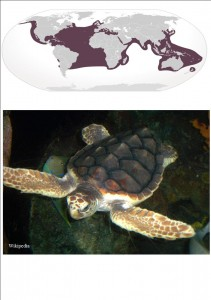Loggerhead turtles are widely distributed throughout the world.