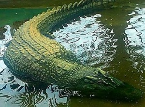 this is a picture od Lolong, a saltwater corcodile that died in captivity on Feb 10 2013. Lolong was the longest crocodile ever caught and placed in captivity http://en.wikipedia.org/wiki/Lolong