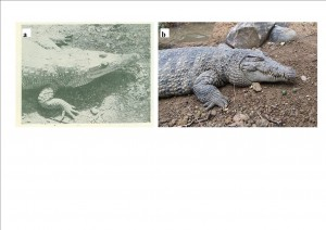 New Guinea Crocodile. (a) is a picture by Rom Whitaker in the 1982 issue of Reptiles of Papua New Guinea, while (b) is a more recent picture of the animal at Bandhung zoo, West Java, Indonesia (Wikipedia)
