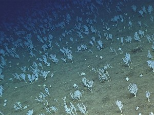 Cral garden at Zealandia. Image courtesy of NOAA Office of Ocean Exploration and Research, 2016 Deep water Exploration of the Marianas